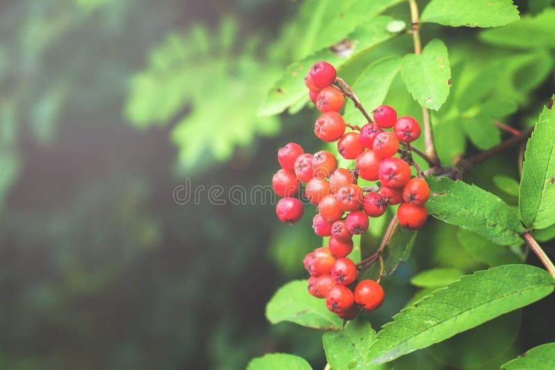 生长在布什的束红色花楸浆果 r 免版税库存图片