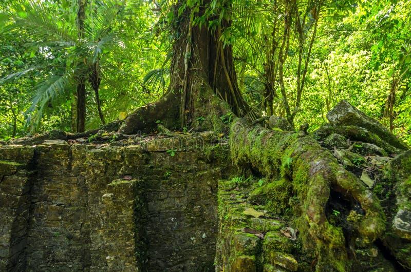生长在废墟的树 免版税库存图片