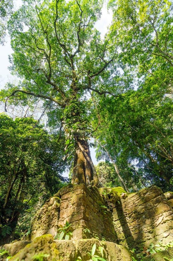 生长在废墟的树 库存图片