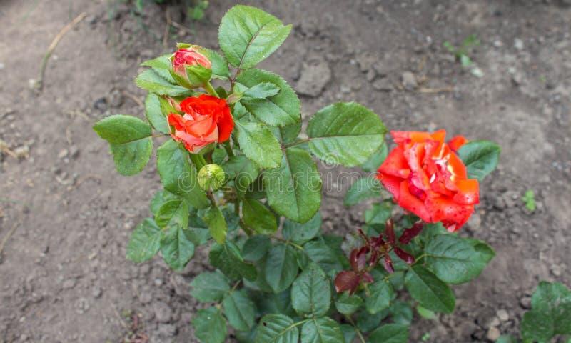 生长在庭院里的一朵美丽的红色野生玫瑰 免版税库存图片