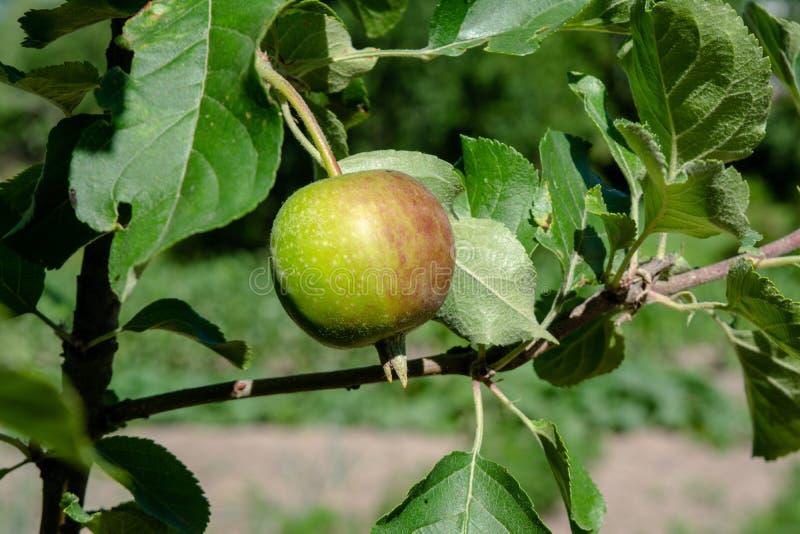生长在庭院里的小嫩绿的绿色苹果 库存照片