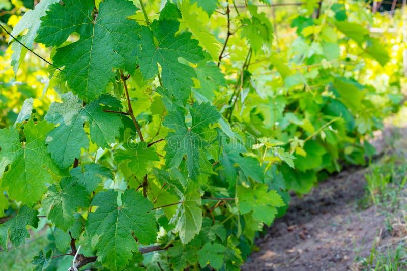 生长在庭院里的年轻葡萄 自然本底 库存照片