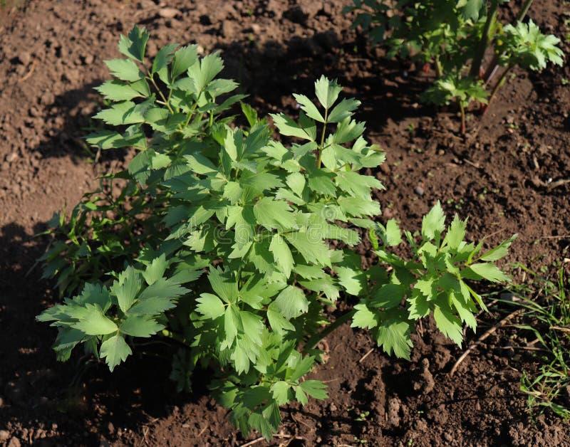 生长在庭院里的新鲜的独活草植物叶子  欧当归属officinale是伞状花科家庭的一棵强有力的植物,是 免版税库存照片