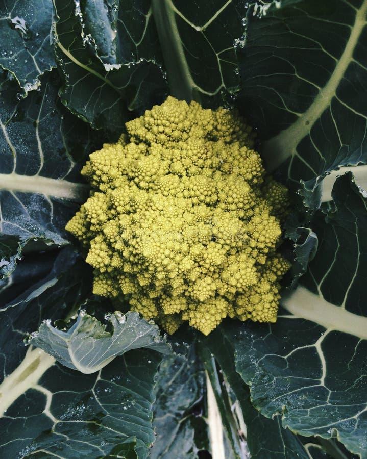 生长在庭院里的有机Romanesco硬花甘蓝 免版税库存照片