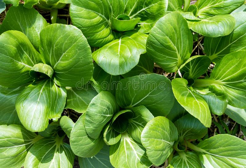 生长在庭院里的朴choy圆白菜 免版税库存图片