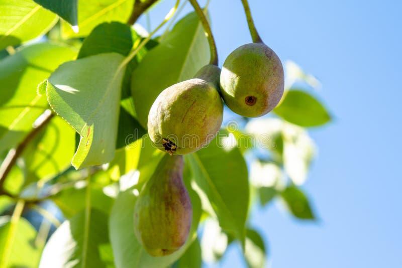 生长在庭院里的束嫩绿的绿色梨 免版税库存图片