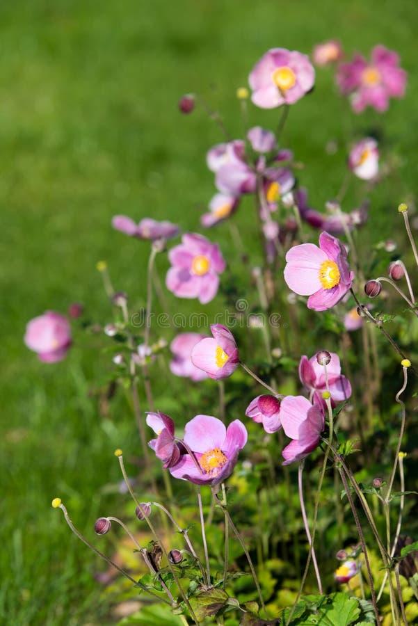 生长在庭院里的桃红色日本银莲花属 图库摄影