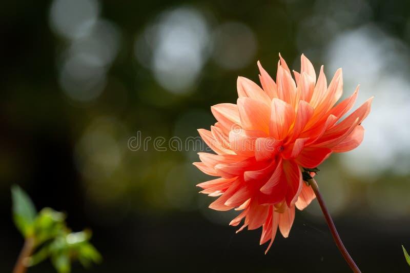 生长在庭院里的橙色大丽花 免版税图库摄影