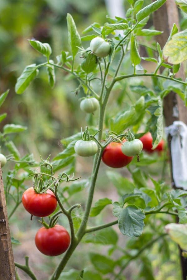 生长在庭院里的湿绿色和红色蕃茄 免版税库存图片