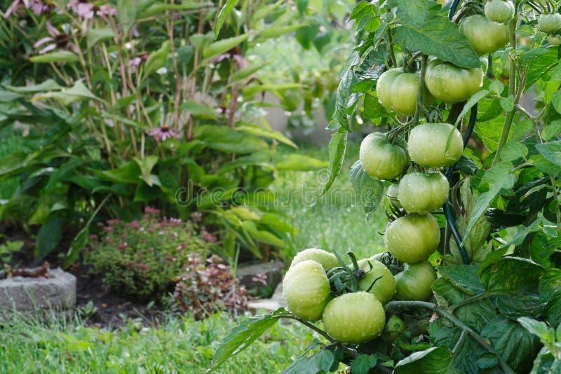 生长在庭院里的湿绿色蕃茄 库存图片