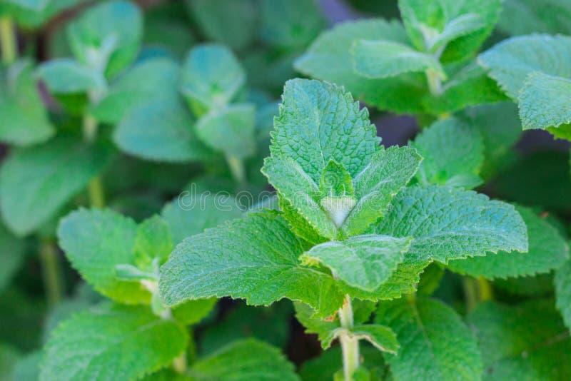 生长在庭院里的绿色薄荷的植物 库存图片