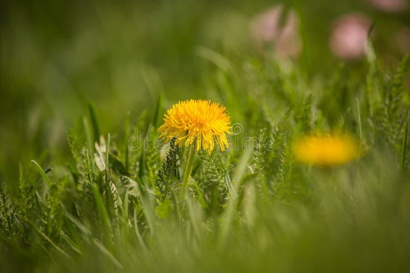 生长在庭院里的美丽的橙色皇家贝母 春天花开花 免版税库存照片