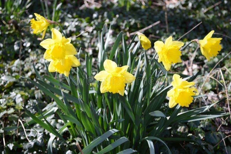 生长在庭院里的美丽的黄水仙 免版税库存图片