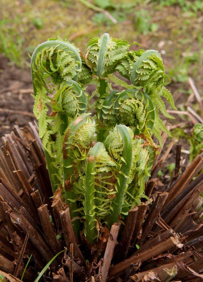 生长在庭院里的蕨 免版税库存图片