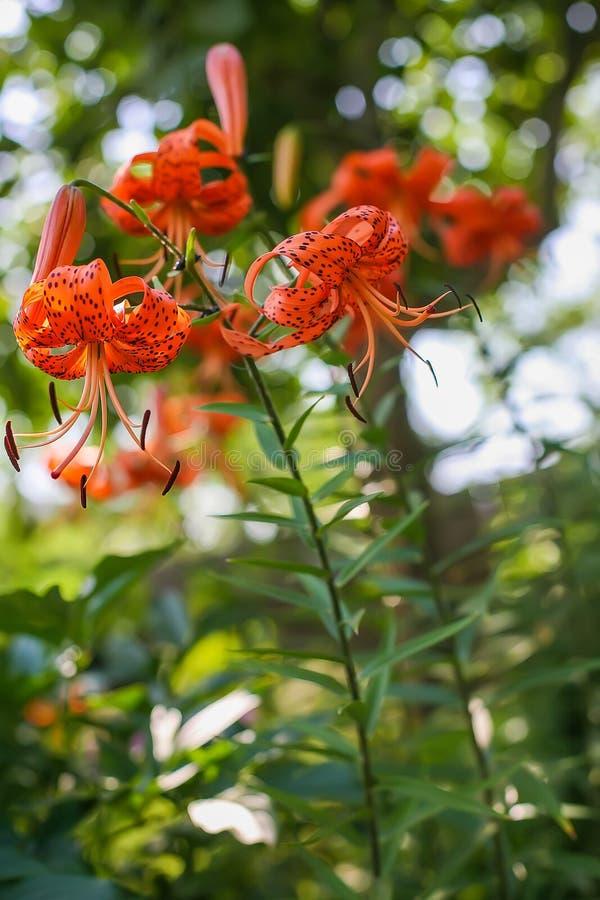 生长在庭院里的被察觉的橙色百合 图库摄影