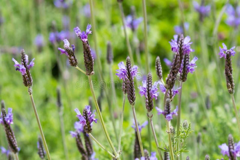 生长在庭院里的西班牙眼睛淡紫色紫色花在夏天 免版税图库摄影