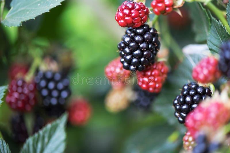 生长在庭院里的黑莓 在灌木的成熟和未成熟的黑莓与选择聚焦 莓果背景 库存图片