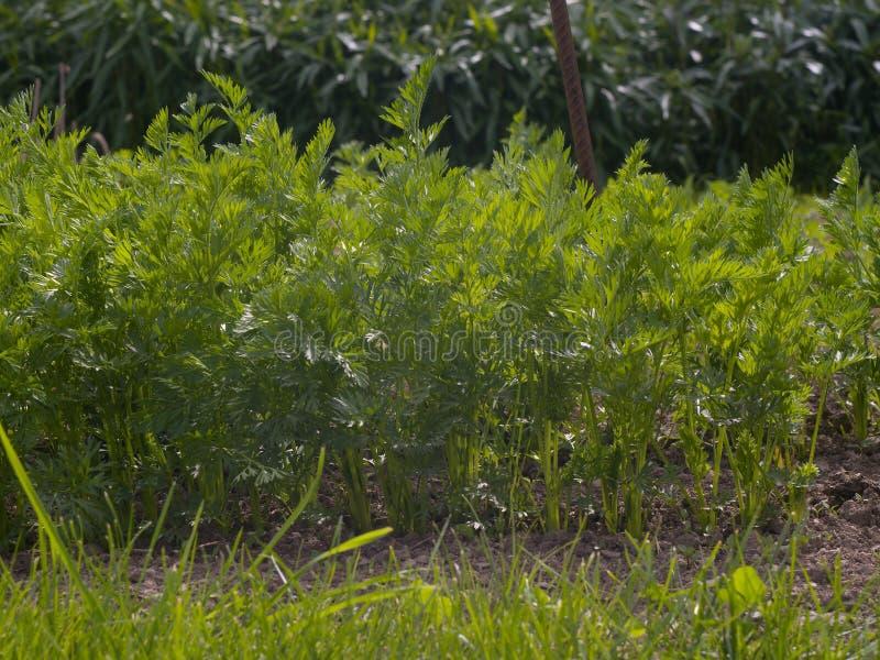 生长在庭院里的年轻红萝卜行  有机庭院在小村庄农场 免版税库存图片