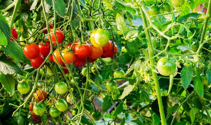 生长在庭院里的绿色,红色西红柿 库存图片