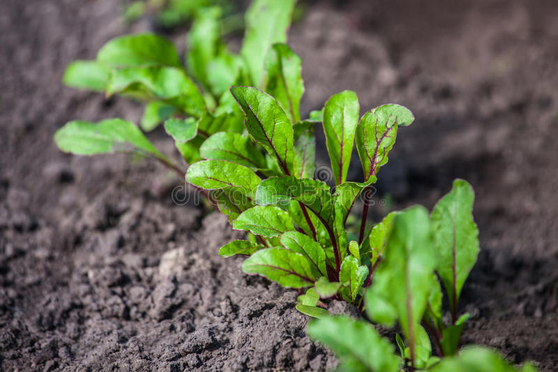 生长在开放地面平床上的年轻,发芽的甜菜入庭院 免版税库存照片