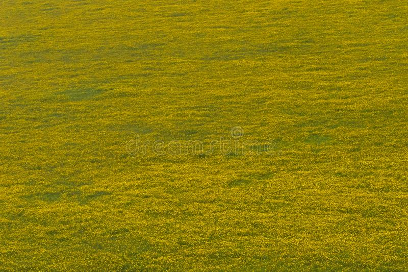 生长在恩戈罗恩戈罗火山口,坦桑尼亚,东非的毛刺万寿菊的绿色黄色领域 免版税库存照片