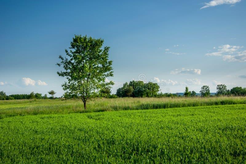 生长在新鲜的谷物和天空蔚蓝的绿色落叶树 免版税库存照片
