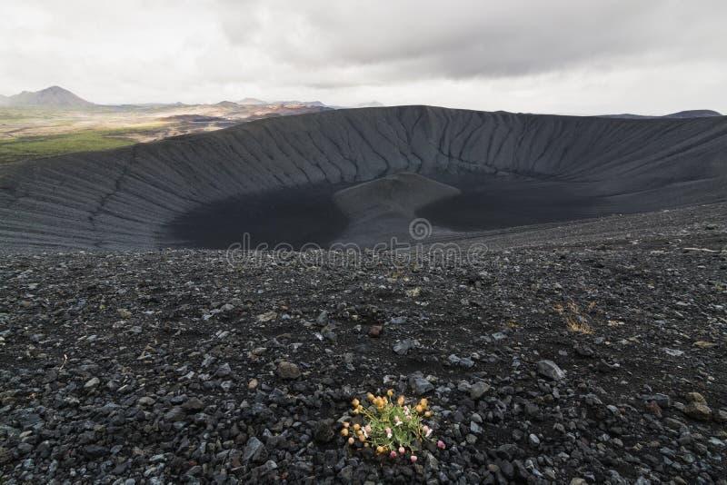 生长在无生命的惠尔山火山火山口倾斜的野花小和偏僻的灌木在米湖地区,冰岛 图库摄影