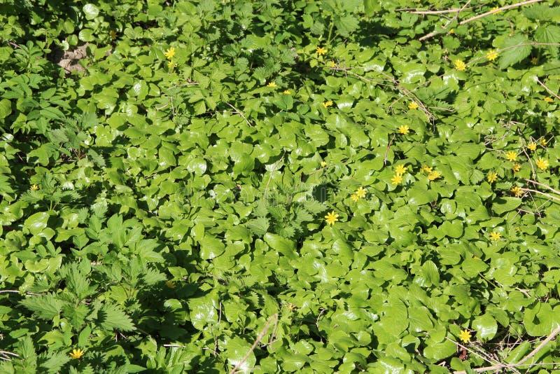 生长在春天森林草丛的一点白屈菜开花 免版税库存照片
