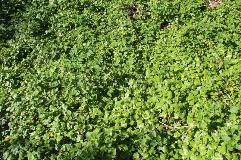 生长在春天植物森林草丛的一点白屈菜和荨麻  库存照片