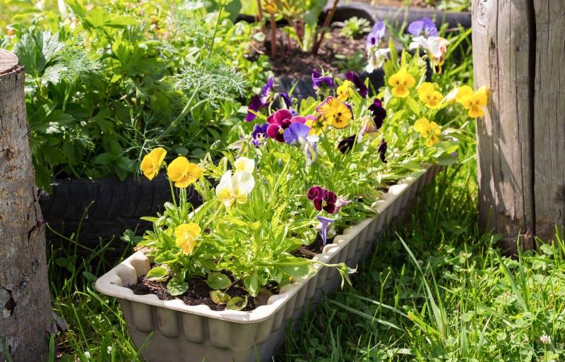 生长在春天的美丽的蝴蝶花或中提琴从事园艺 免版税库存照片
