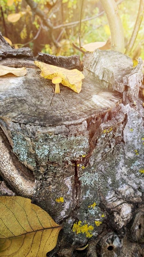 生长在木树桩的蘑菇深深在秋天森林,真菌硫磺一束里 免版税库存照片