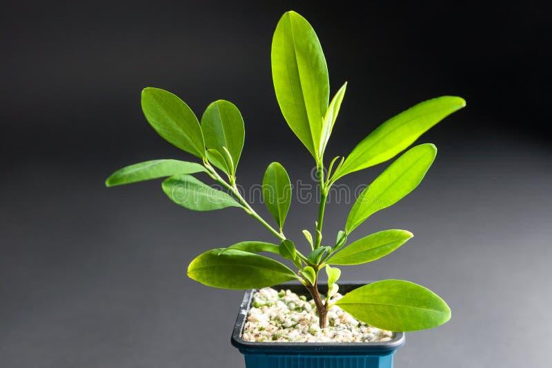 生长在木盆的古柯植物 免版税库存照片