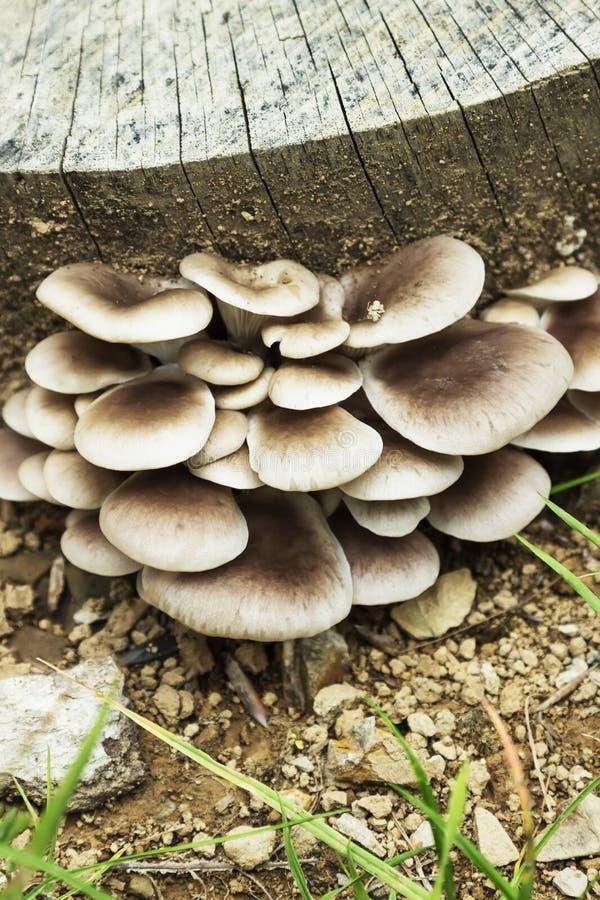 生长在木头的一个残余部分的蚝蘑 库存照片
