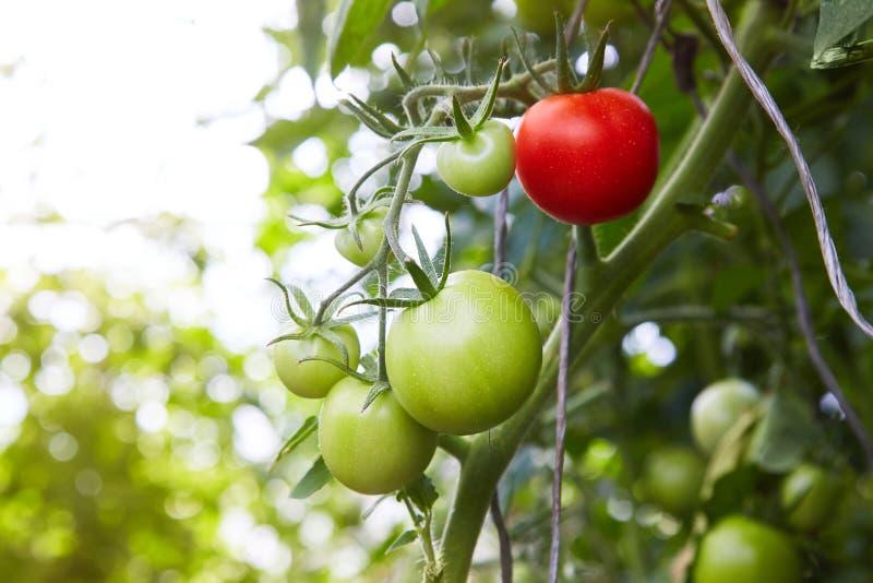 生长在枝杈的红色和绿色蕃茄 自温室 免版税库存照片
