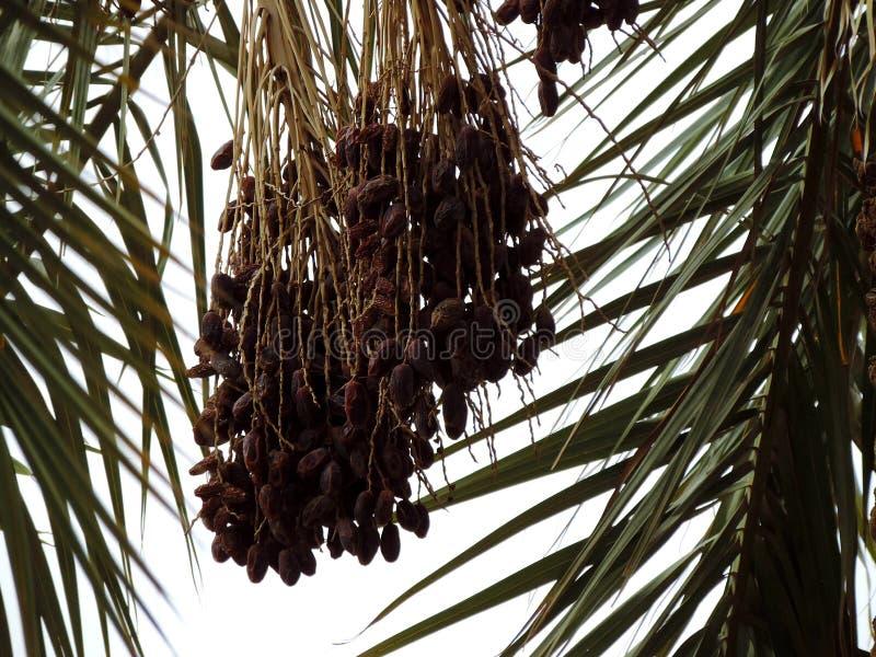 生长在枣椰子的日期在卡尔巴拉,伊拉克 库存照片