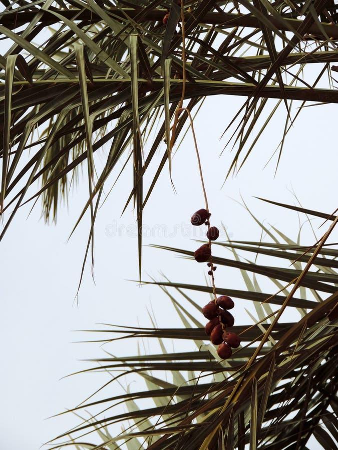 生长在枣椰子的日期在卡尔巴拉,伊拉克 图库摄影