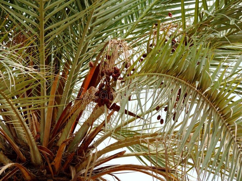 生长在枣椰子的日期在卡尔巴拉,伊拉克 库存图片