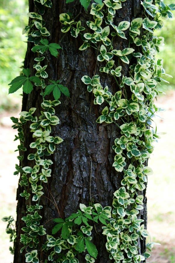 生长在树干的Varigated常春藤 库存图片