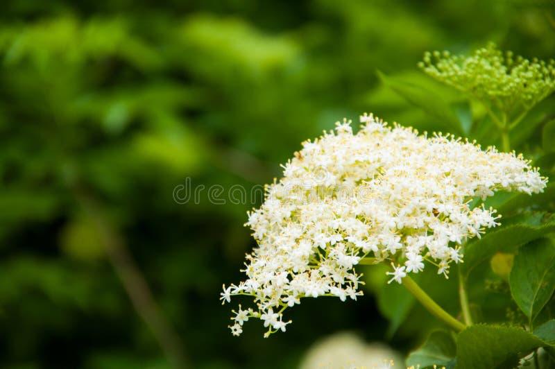 生长在树枝的小白花 库存图片