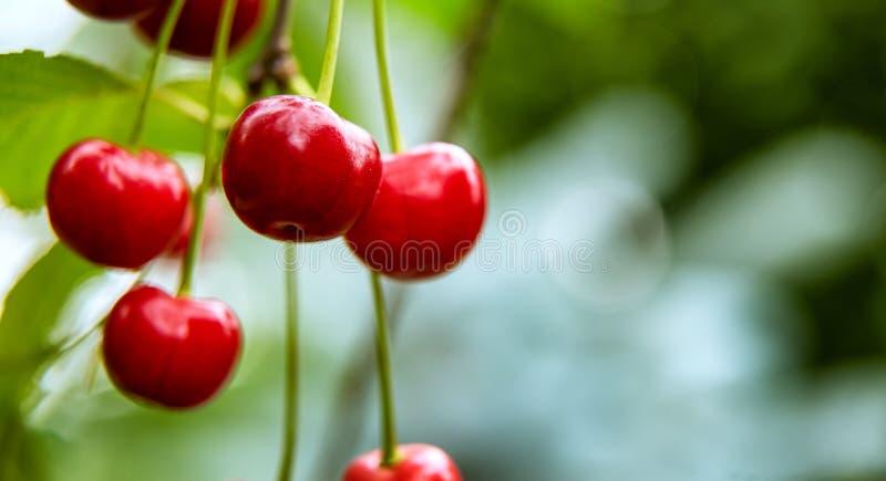 生长在树枝的少量红色樱桃特写镜头  免版税图库摄影