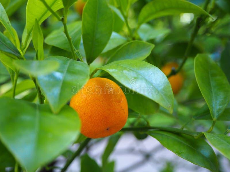 生长在树枝的绿色叶子的中年轻橙色普通话果子柑橘reticulata 免版税库存图片