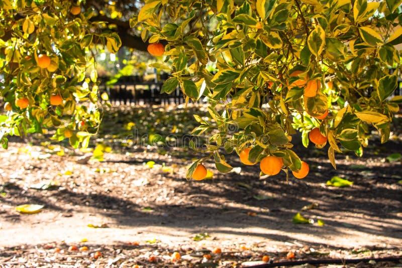 生长在树枝的Calamondin桔子 免版税库存图片