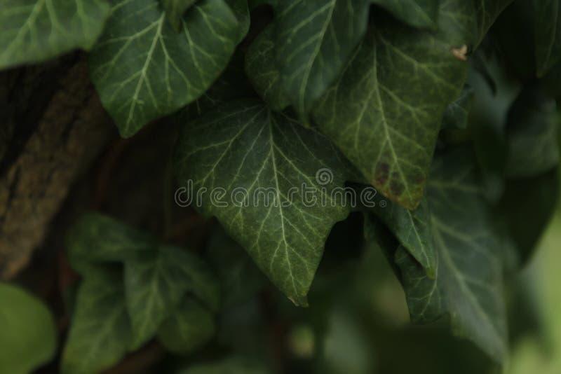 生长在树的常春藤叶子 免版税库存照片