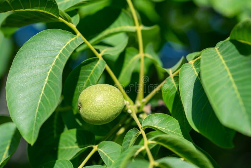 生长在树的新鲜的绿色核桃 ??comcept 库存图片