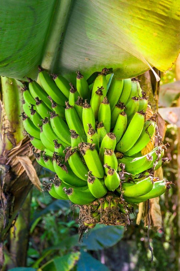 生长在树的束绿色新鲜的香蕉 库存照片