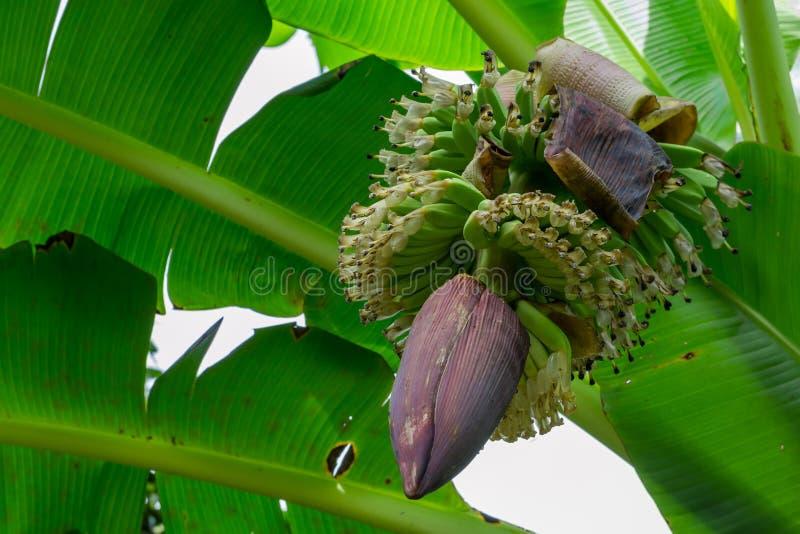 生长在树的束绿色香蕉 免版税库存图片