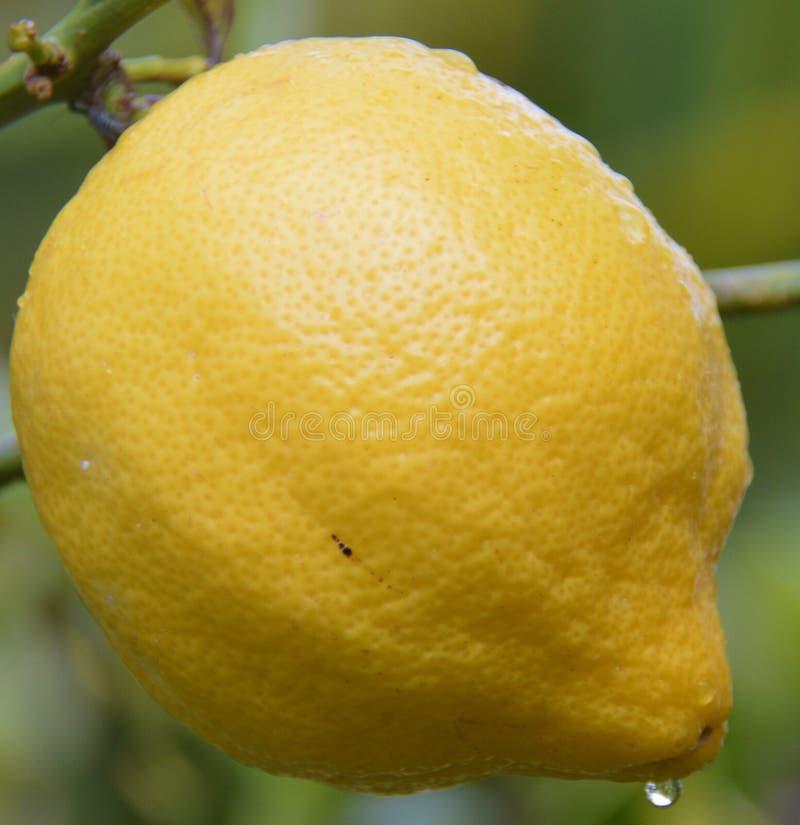 生长在树的水多的黄色柠檬 库存图片