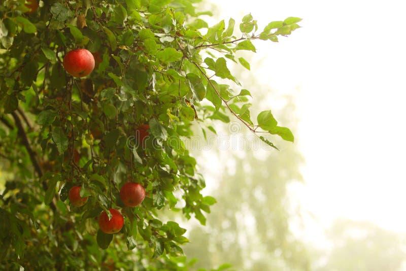 生长在树的红色苹果。自然产品。 免版税库存图片
