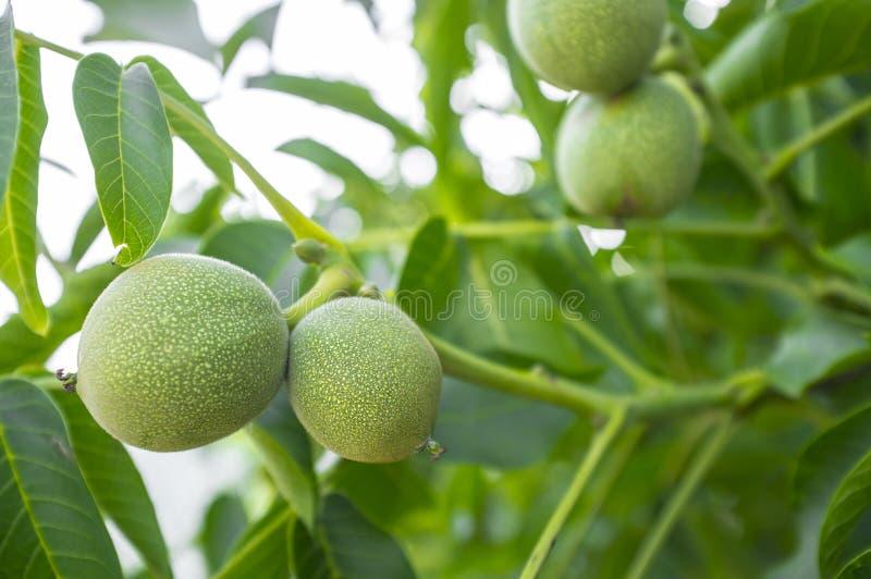 生长在树的绿色未成熟的核桃 免版税图库摄影