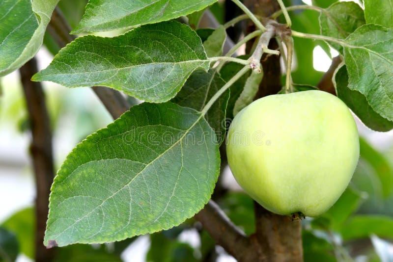 生长在树的苹果的特写镜头 库存图片